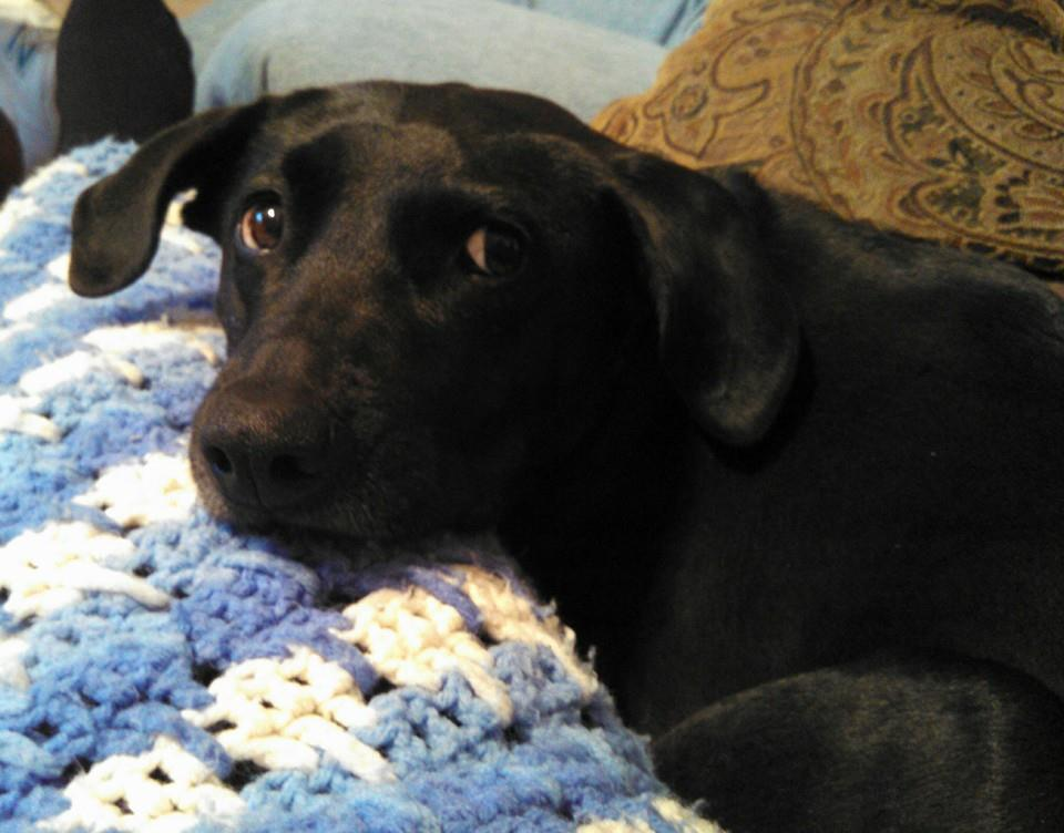 Black Lab Mix with head on blanket