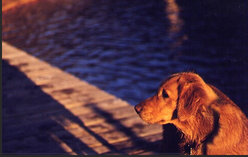 Golden Retriever at Sunset